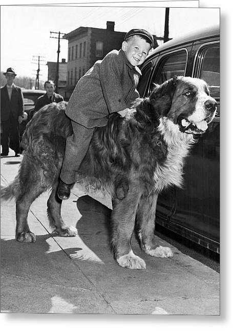 A Three Year Old Boy Takes A Ride On A St. Bernard. Greeting Card by Underwood Archives