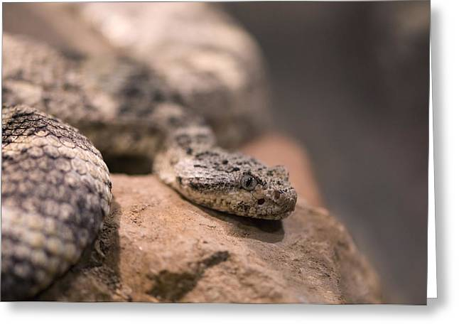 A Tiger Rattlesnake At The Henry Doorly Greeting Card by Joel Sartore