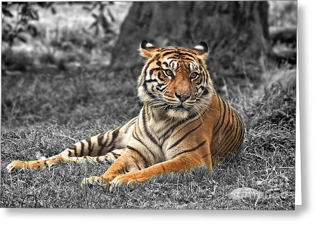 A Tiger Relaxing On A Cool Afternoon II Greeting Card by Jim Fitzpatrick