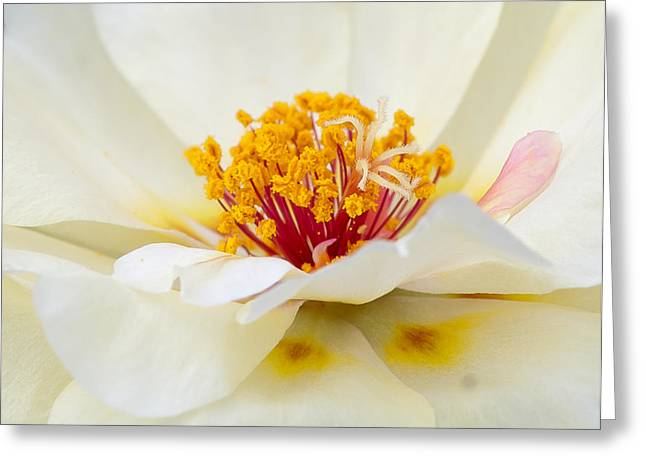 A Touch Of Pink Greeting Card by David Waldrop
