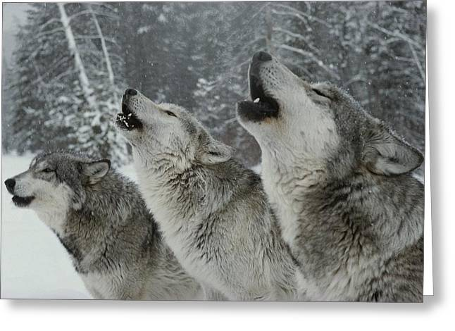 Animals In Action Greeting Cards - A Trio Of Gray Wolves, Canis Lupus Greeting Card by Jim And Jamie Dutcher
