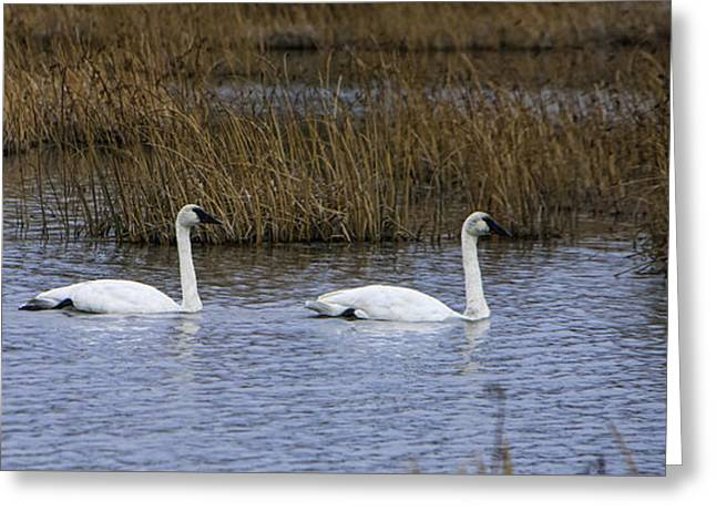 A Trio Of Swans Greeting Card