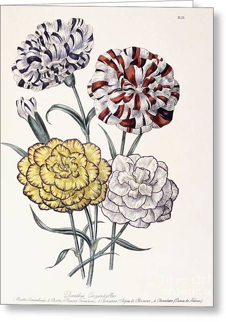 A Variety Of Carnations Greeting Card