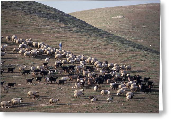 A View Of Sheep In The Judean Desert Greeting Card by Richard Nowitz