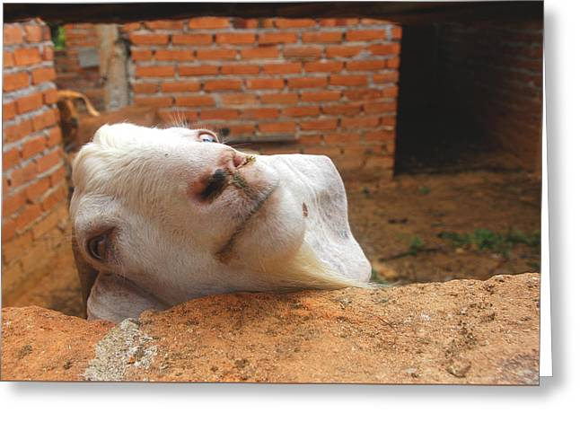 A Visit With A Smiling Goat Greeting Card by ARTography by Pamela Smale Williams