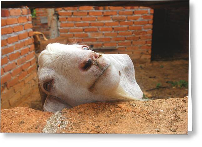 A Visit With A Smiling Goat Greeting Card