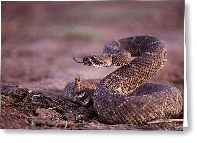 A Western Diamondback Rattlesnake Greeting Card by Joel Sartore