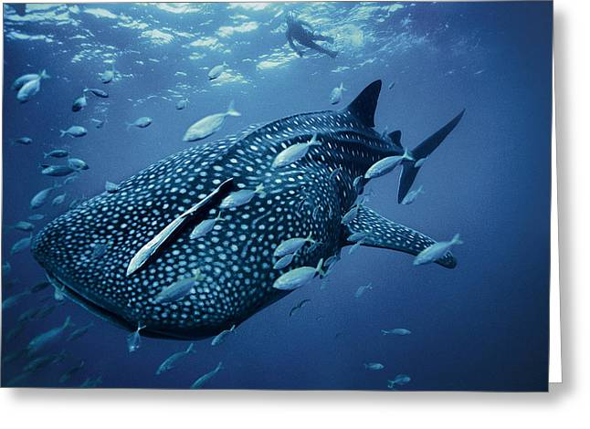 A Whale Shark Greeting Card by Brian J. Skerry
