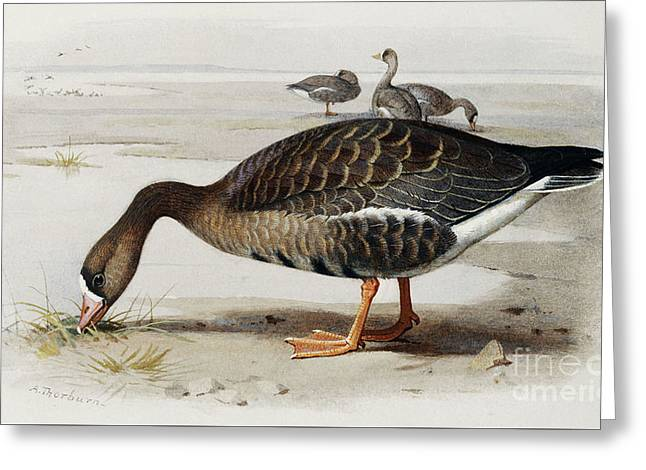 A White Fronted Goose Greeting Card by Archibald Thorburn