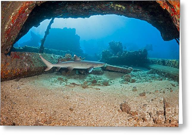 A Whitetip Reef Shark  Triaenodon Greeting Card by Dave Fleetham