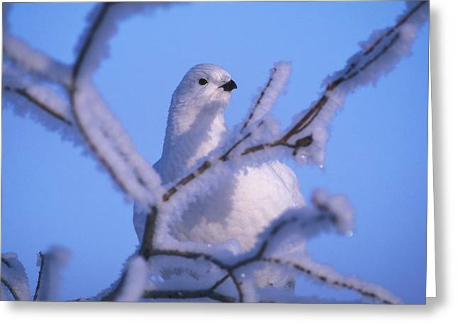 A Willow Ptarmigan Greeting Card by Nick Norman