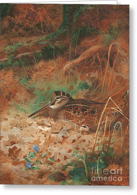 A Woodcock And Chick In Undergrowth Greeting Card by Archibald Thorburn