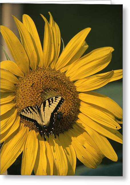 Garden Scene Photographs Greeting Cards - A yellow swallowtail Greeting Card by Taylor S. Kennedy