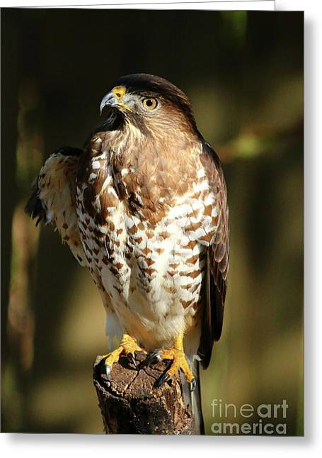 A Young Bird Of Prey Greeting Card by Christiane Schulze Art And Photography