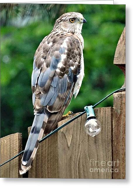 A Young Coopers Hawk  Greeting Card