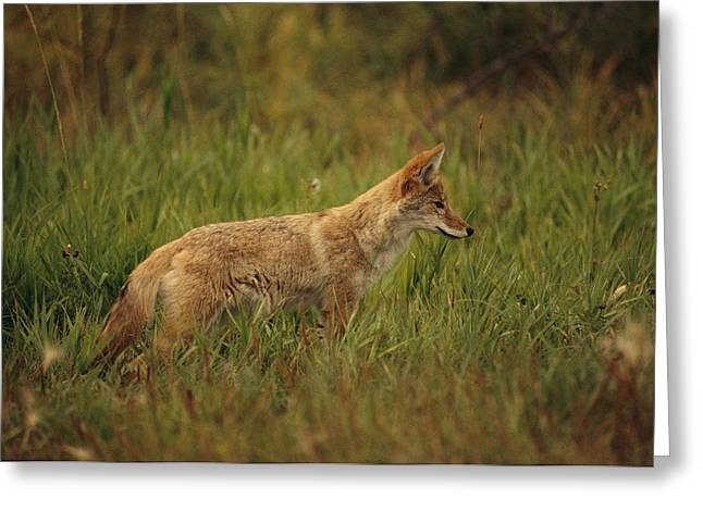 A Young Coyote Greeting Card by Raymond Gehman