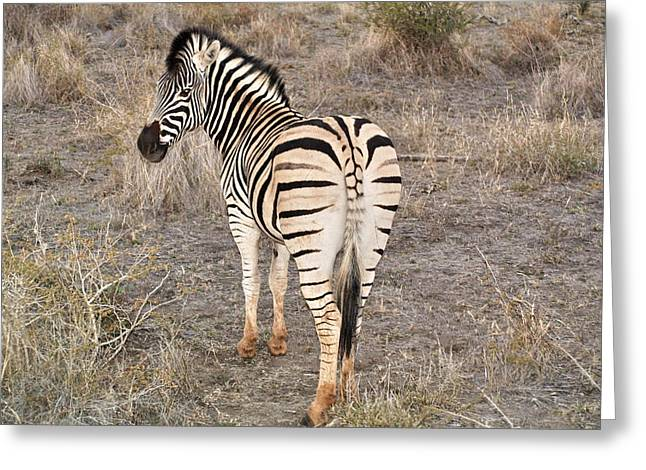 Greeting Card featuring the photograph A Zebra Tale by Phil Stone