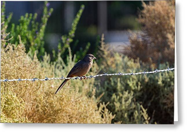 Abert's Towhee Greeting Card