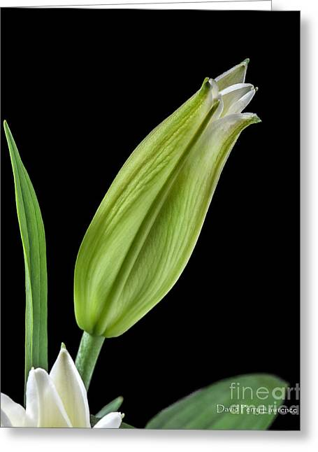 Greeting Card featuring the photograph White Oriental Lily About To Bloom by David Perry Lawrence