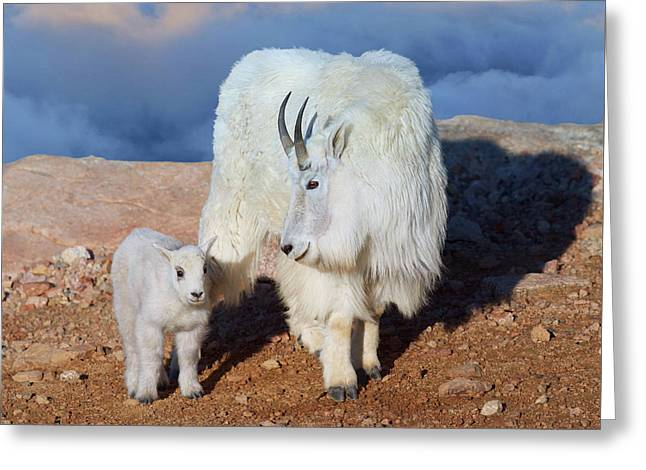 Above The Clouds. Mother And Kid - A Young Rocky Mountain Goat Stands Inquisitively Next To Its Mom Greeting Card