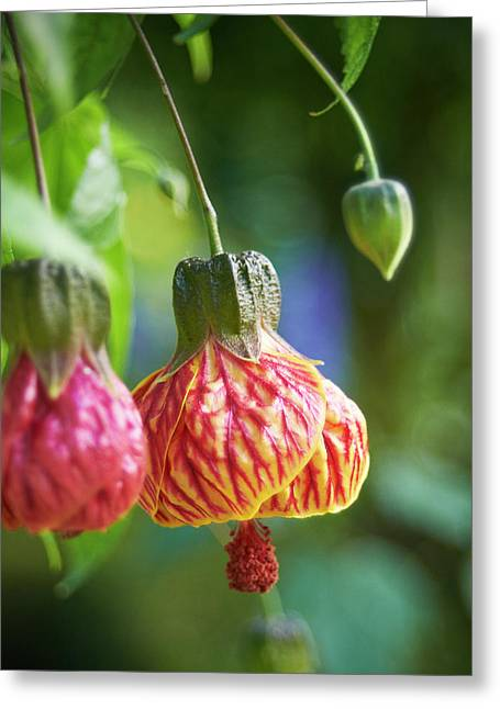Abutilon Greeting Card