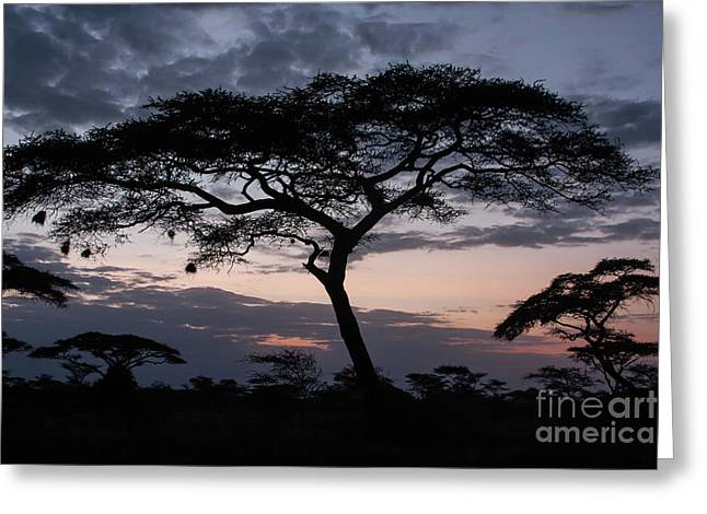 Acacia Trees Sunset Greeting Card