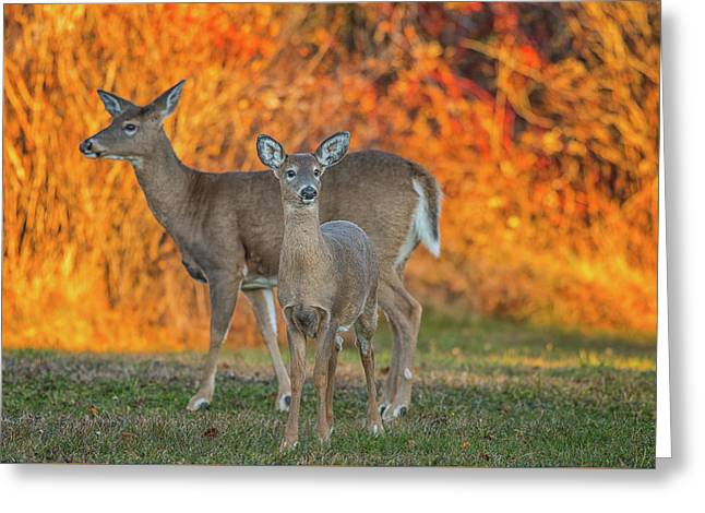 Acadia Deer Greeting Card by Darren White