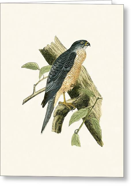 Accipiter Sphenurus Greeting Card by English School