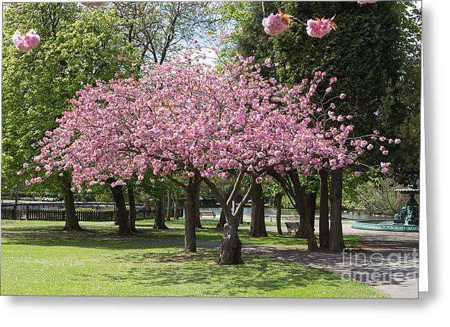 Accolade Cherry Tree Greeting Card