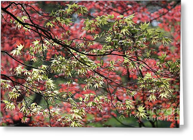 Acer Leaves In Spring Greeting Card