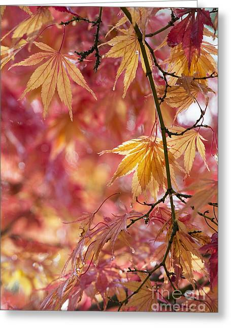 Acer Palmatum Elegans Greeting Card by Tim Gainey
