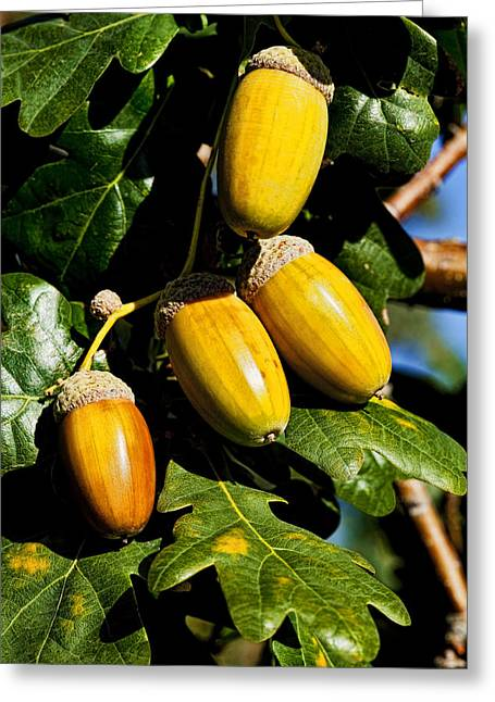 Nut Trees Greeting Cards - Acorns Greeting Card by Kelley King