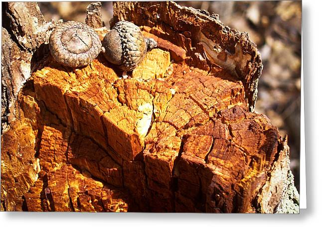 Greeting Card featuring the photograph Acorns - The Cycle Of Life Continues  by Shawna Rowe