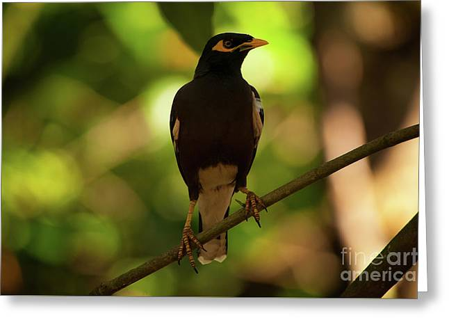 Acridotheres Tristis Greeting Card