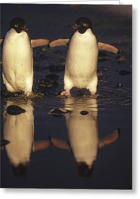 Adelie Penguin Pygoscelis Adeliae Pair Greeting Card by Tui De Roy