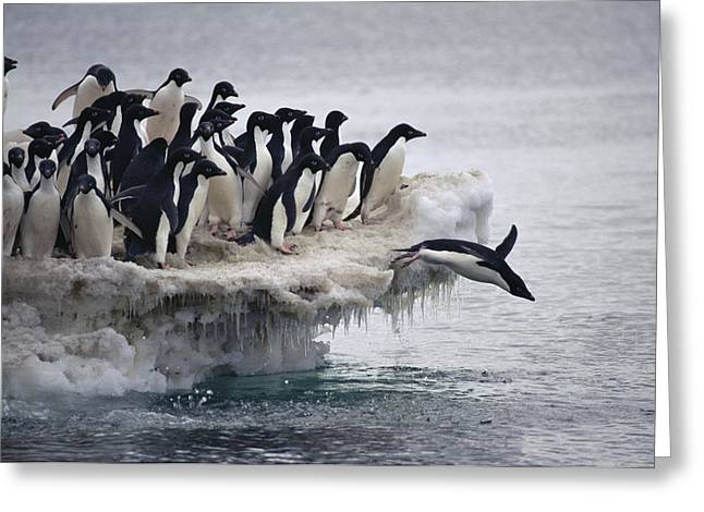 Antarctic Ocean Greeting Cards - Adelie Penguin Pygoscelis Adeliae Greeting Card by Tui De Roy