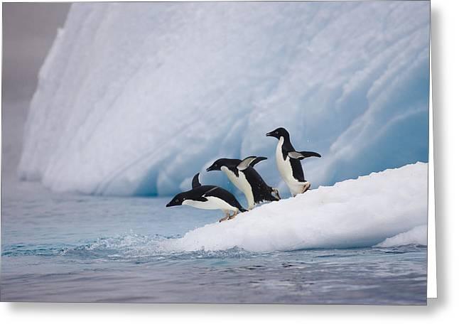 Adelie Penguin Trio Diving Greeting Card by Suzi Eszterhas