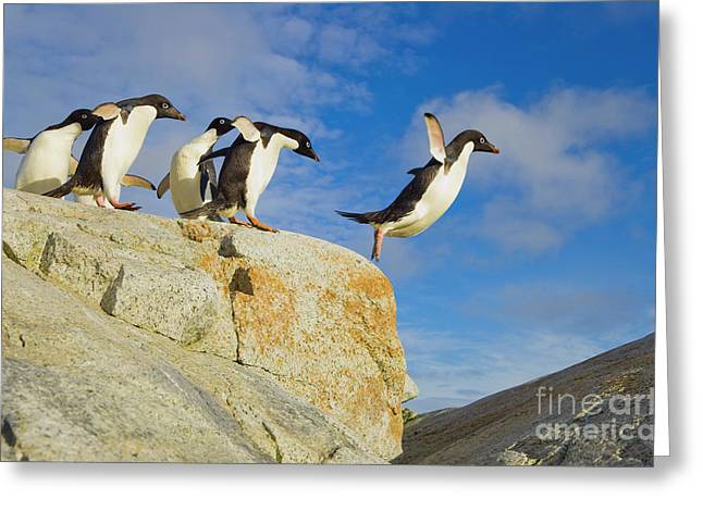 Adelie Penguins Jumping Greeting Card