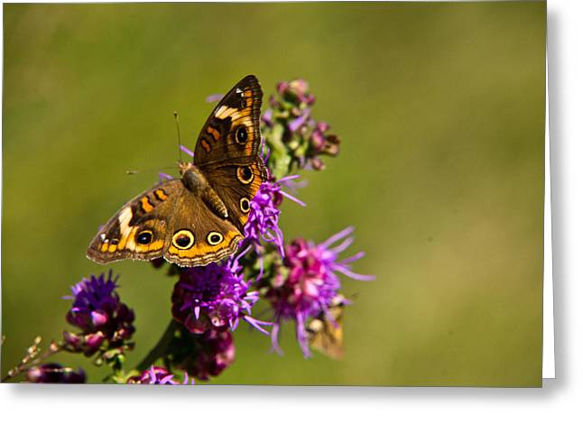 Arkansas Greeting Cards - Admiral Butterfly  Greeting Card by Douglas Barnett