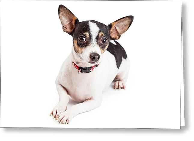 Adorable Chihuahua Dog Laying  Greeting Card by Susan Schmitz
