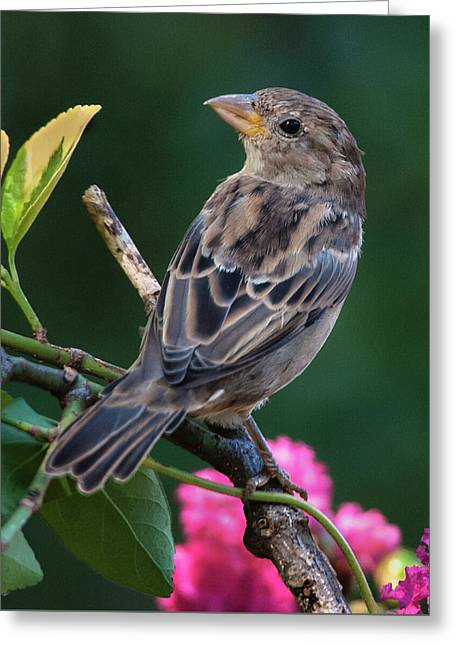 Adorable House Finch Greeting Card