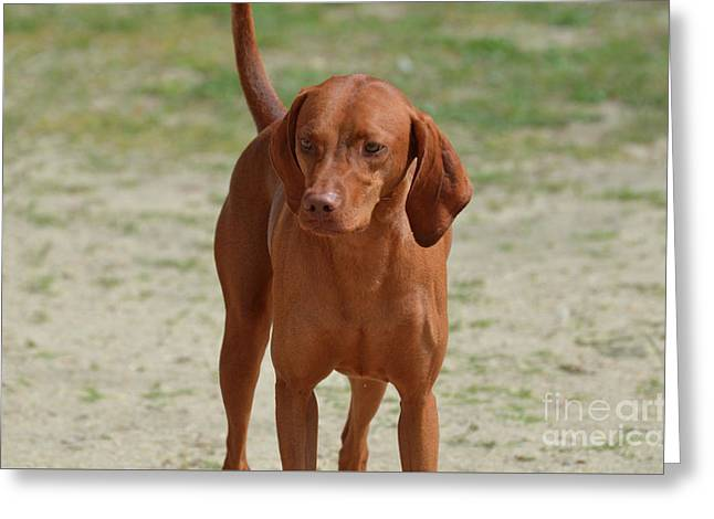 Adorable Redbone Coonhound Standing Alone Greeting Card