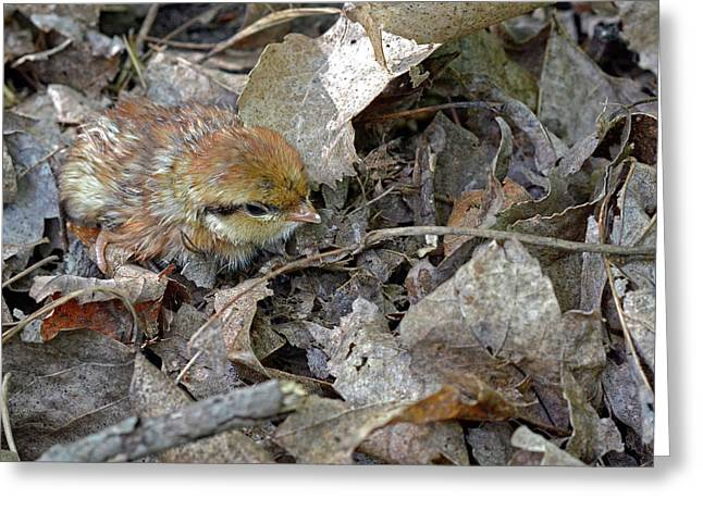 Adorable Ruffed Grouse Chick Greeting Card by Asbed Iskedjian