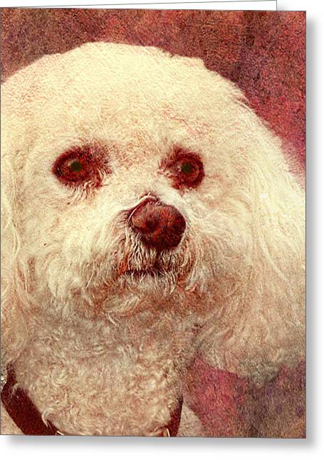 Adoration - Portrait Of A Bichon Frise  Greeting Card