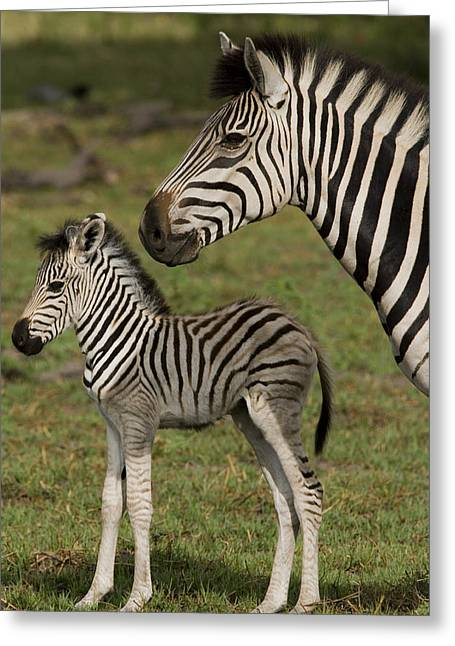 Equus Greeting Cards - Adult And Juvenile Burchells Or Common Greeting Card by Beverly Joubert