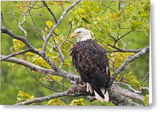Adult Bald Eagle Greeting Card