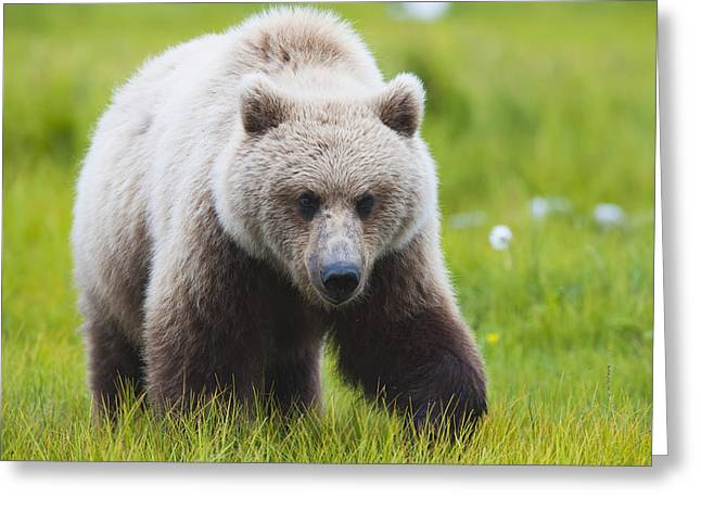 Adult Brown Bear Walking Amongst Greeting Card by Lorraine Logan