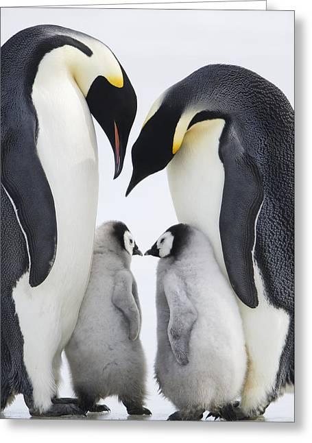 Adult Emperor Penguins  Aptenodytes Greeting Card by Daisy Gilardini