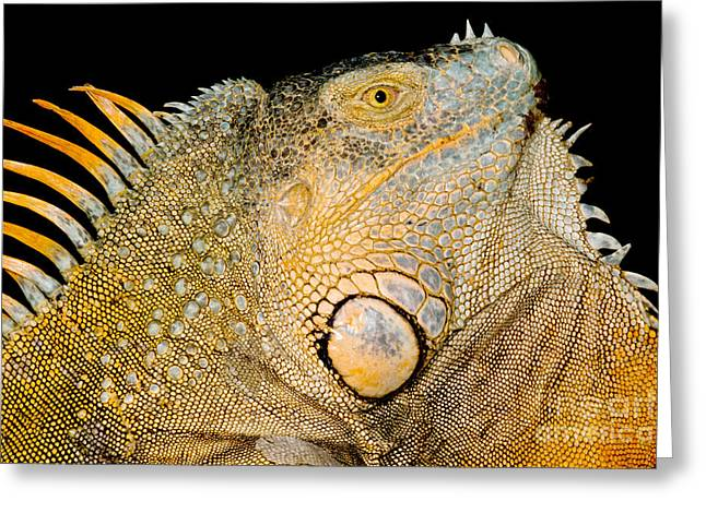 Adult Male Green Iguana Greeting Card by Dant� Fenolio