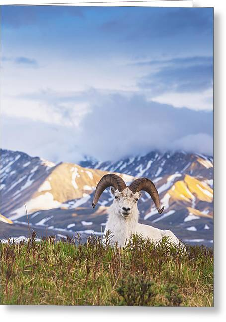 Adult Ram Dall Sheep Resting Greeting Card by Michael Jones